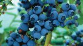 Ce beneficii pentru sanatate ofera afinele?